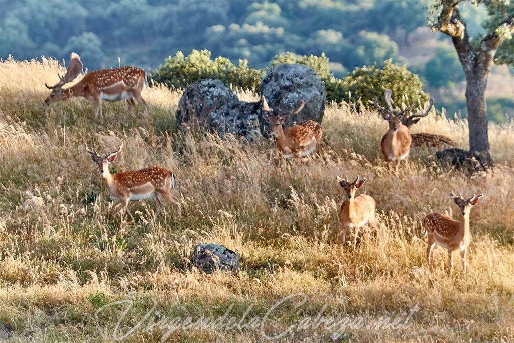 Sierra de Andújar gamos caza
